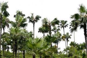Bộ GTVT đồng ý trồng cây cọ bên đường cao tốc Nội Bài - Lào Cai