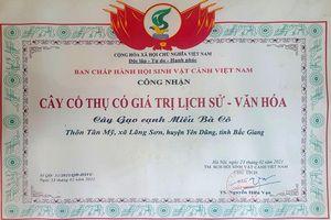 Bắc Giang: Cây gạo Lãng Sơn được công nhận là 'Cây cổ thụ có giá trị lịch sử-văn hóa'