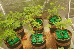 Gã trai trồng 140 cây cần sa ở TP Thủ Đức