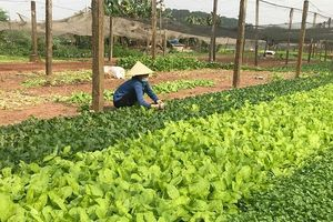 Giá rau tăng, người trồng có lãi