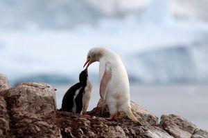 Hình ảnh chim cánh cụt trắng hiếm thấy cho chim con ăn