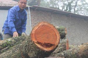 Lô gỗ sưa 'trăm tỷ' nằm trong thùng container chuẩn bị bán đấu giá lần 5