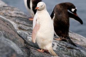 Con chim cánh cụt trắng quý hiếm ở Nam Cực