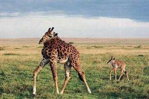 Điều gì sẽ xảy ra khi động vật không có ... cổ?