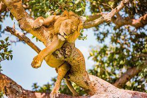 Phát hiện 6 con sư tử bị giết hại, xẻ thịt trong công viên ở Uganda