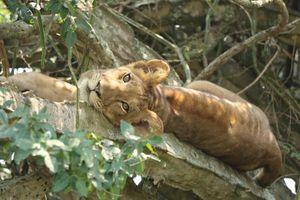 Sáu con sư tử bị đầu độc chết trong vườn quốc gia Uganda
