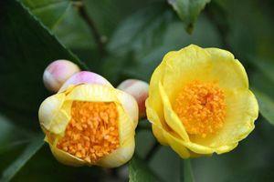 Trà hoa vàng của Việt Nam vừa đẹp, vừa ức chế được ung thư