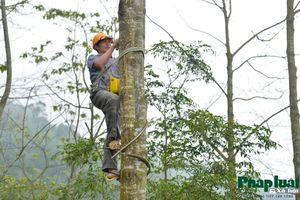 Khám phá nghề trèo hái 'cánh kiến trắng' trên đỉnh Hoàng Liên Sơn