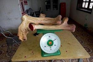 Cận cảnh cặp nhung hươu 'khủng' nhất từ trước đến nay ở xứ sở nhung hươu Việt Nam