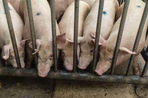Trung Quốc điều tra vụ hàng chục xác lợn trôi dọc sông Hoàng Hà