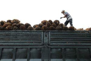Đối mặt với áp lực dư luận, ngành dầu cọ có xu hướng xanh