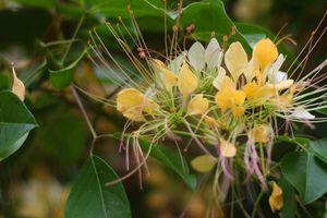 Mùa hoa bún nở rộ bên dòng sông Kiến Giang