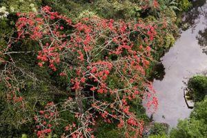 Vãn cảnh chùa Hương, du khách ngỡ ngàng trước vẻ đẹp của hoa gạo cổ khi bung nở