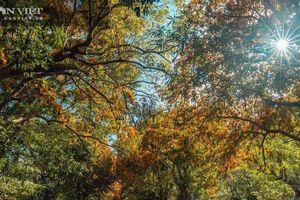 Hoa trang rừng cổ thụ bung nở, suối Tà Má đẹp như chốn thần tiên