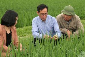 Tạm dừng việc bón thúc những diện tích lúa đã nhiễm đạo ôn
