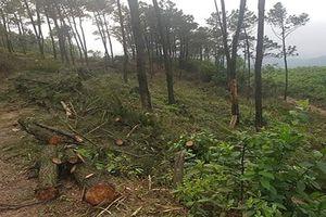 Hà Tĩnh: Xử phạt con rể chặt rừng thông của bố vợ