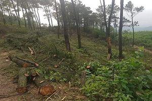 Xử phạt con rể chặt rừng thông của bố vợ
