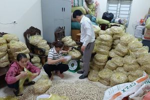Giá chạm đáy, hàng trăm hecta hành ở Nghệ An chịu phận nằm ruộng