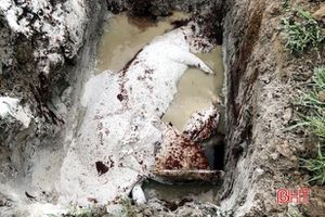 Tiêu hủy 20 con lợn mắc dịch tả lợn Châu Phi ở huyện Kỳ Anh