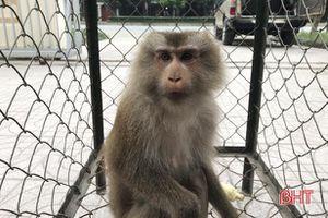 Bàn giao cá thể khỉ đuôi lợn quý hiếm cho Vườn Quốc gia Vũ Quang