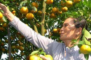 Phát triển bền vững cây quýt hồng Lai Vung
