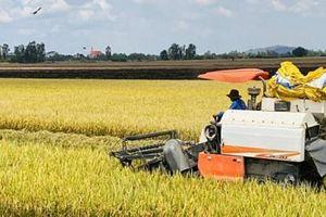 Giá lúa gạo hôm nay 26/3: Quay đầu giảm nhẹ