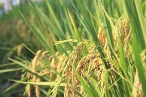 Sản xuất lúa gạo đi đôi với giảm phát thải khí nhà kính