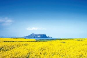 Chạy trực tuyến khám phá mùa xuân Jeju