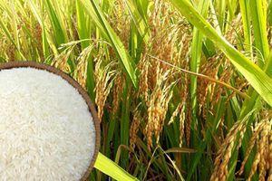 Giá lúa gạo hôm nay 26/3: Xu hướng giảm, thị trường giao dịch ổn định
