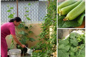 Dùng thùng xốp trồng mướp theo cách này: Quả sai trĩu lại vừa to vừa dài, gấp 3 trồng mặt đất