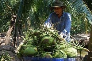 Bến Tre hỗ trợ dân khôi phục vườn dừa bị ảnh hưởng sau hạn mặn