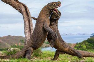 Loài rồng đất thoát khỏi thảm họa tuyệt chủng nhờ... bị săn bắn