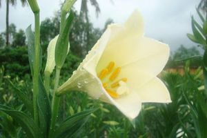 Bật mí về hoa loa kèn tứ quý nở hoa quanh năm