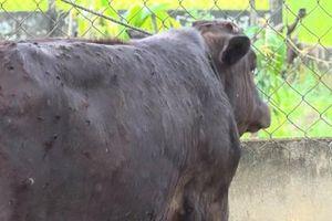 Quảng Ngãi: Bệnh viêm da nổi cục hoành hành trên đàn gia súc