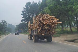 Nguy cơ tai nạn rình rập từ những chiếc xe chở đầy gỗ keo
