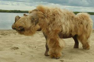 Tê giác lông mượt tuyệt chủng do biến đổi khí hậu