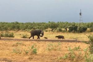 Trâu non 'mới nứt mắt' đã đi gây hấn với con voi châu Phi to lớn và cái kết không thể ngờ
