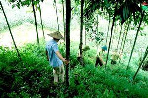 Phát triển kinh tế đồi rừng