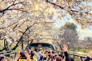Trải nghiệm ngắm hoa anh đào Nhật Bản bằng xe bus mui trần ở Tokyo