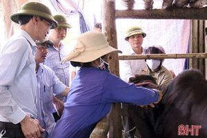 Diễn biến nhanh, Đức Thọ có 14/16 xã 'dính' dịch viêm da nổi cục trên trâu bò