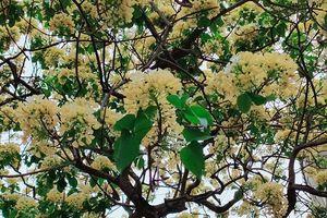 Vì sao người dân Hà Nội xôn xao trước cây hoa bún trăm năm tuổi?