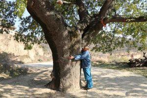Bí ẩn cây cổ thụ 400 năm, chữa được nhiều bệnh cho dân làng
