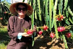 Đến Phan Thiết nhớ ghé tham quan vườn thanh long Phú Mỹ