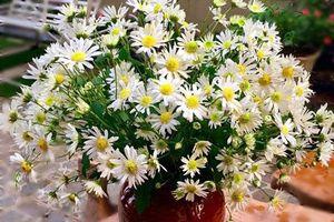 Bỏ 1 thìa gia vị này vào bình nước giúp cúc hoa mi tươi lâu hơn, cả tuần không héo
