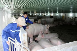 Phát triển chăn nuôi theo hướng tập trung, bền vững