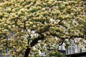 'Báu vật' 300 năm tuổi khoe hoa vàng rực giữa lòng Thủ đô