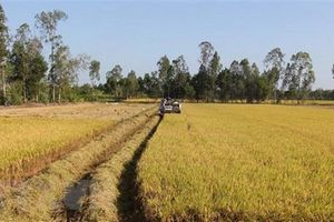 Lúa được giá, nông dân Cần Thơ đạt lợi nhuận cao nhất từ trước đến nay