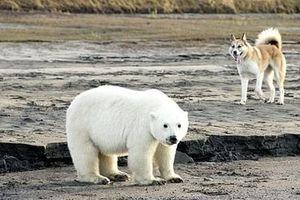 Gấu Bắc Cực bất ngờ xuất hiện trên cao tốc tại Nga