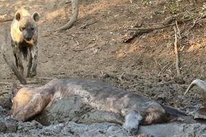 Trâu lớn sa lầy, đau đớn bị linh cẩu ăn sống
