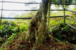 Bảo tồn cây chè cổ thụ tại vùng trà Cao Bồ, tỉnh Hà Giang